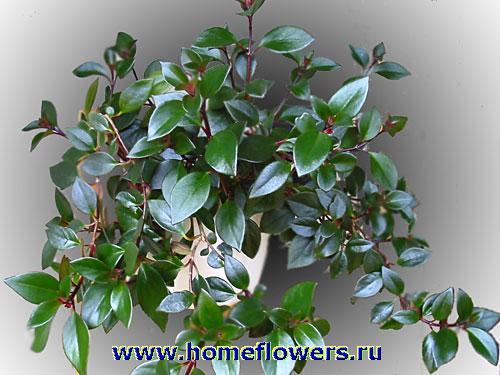 Нематантус  Nematanthus описание и уход на FloralWorldru