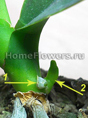 Что делать если орхидея растет вверх