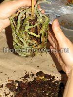 Очищаем корни фаленопсиса