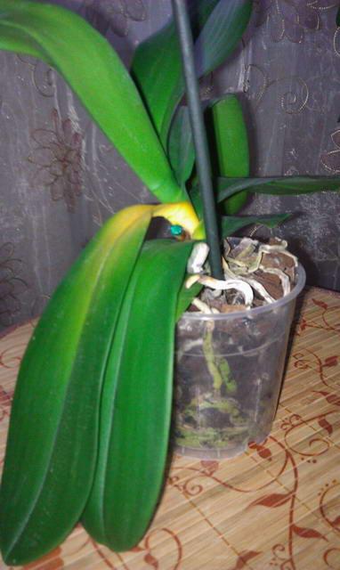 У орхидеи желтеет лист