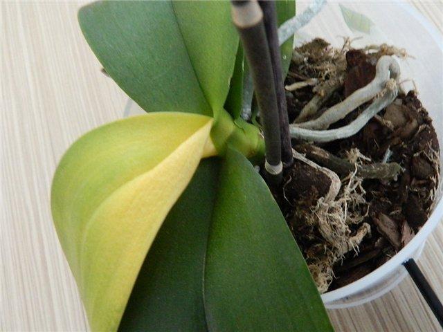 Орхидея пожелтел лист
