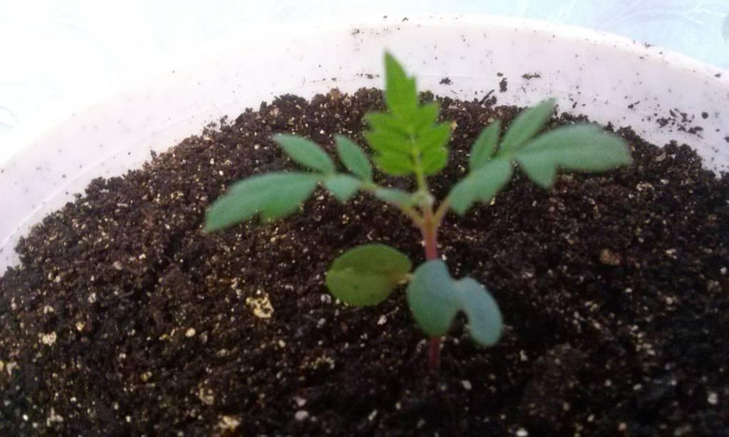 Жакаранд выращивание из семян 719