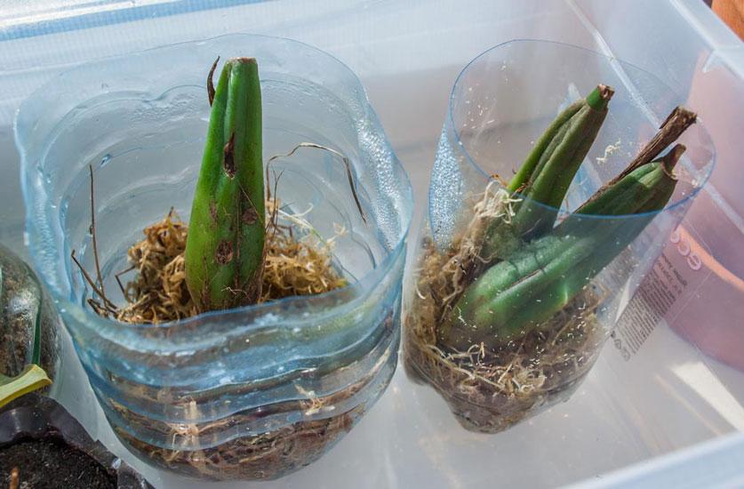 Выращивание орхидей из луковиц из вьетнама 31