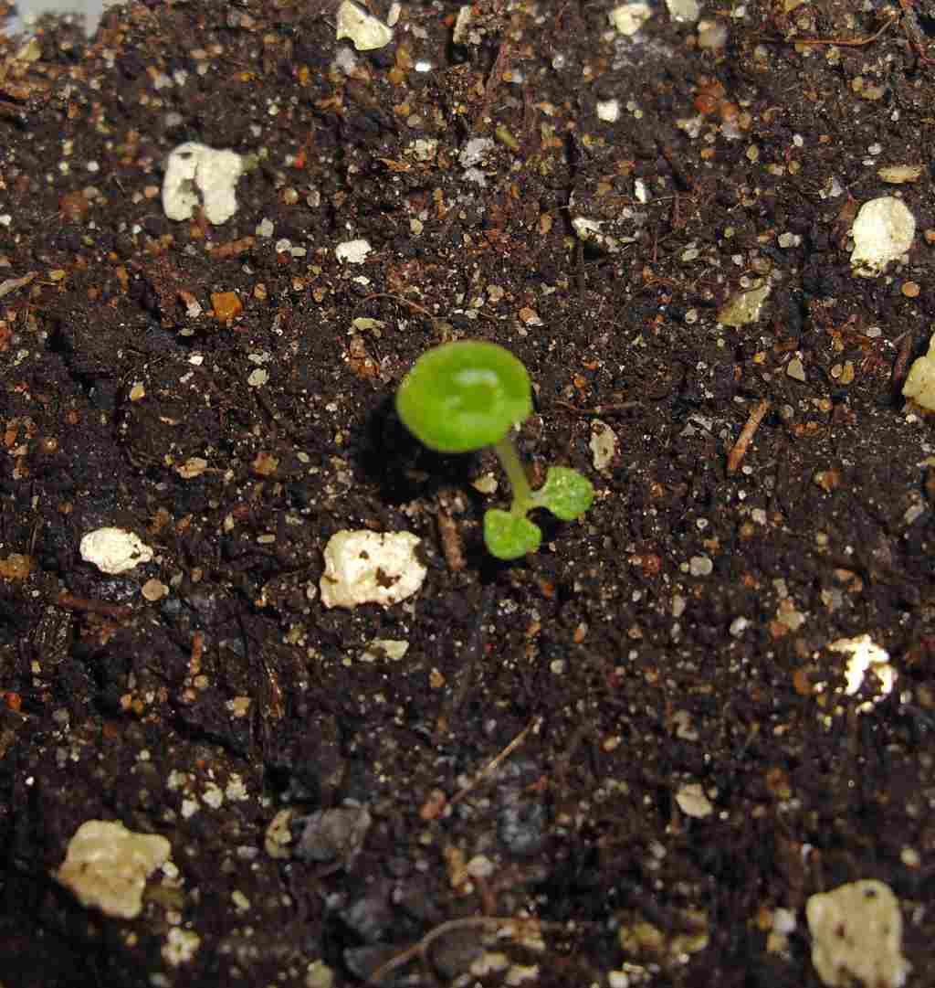 Бегония из семян в домашних условиях как самому вырастить 21