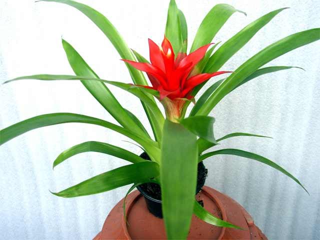Домашний цветок березка уход в домашних условиях 38