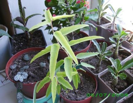 Эвкалипт лимонный флагман фото выращивание и уход в открытом грунте 94