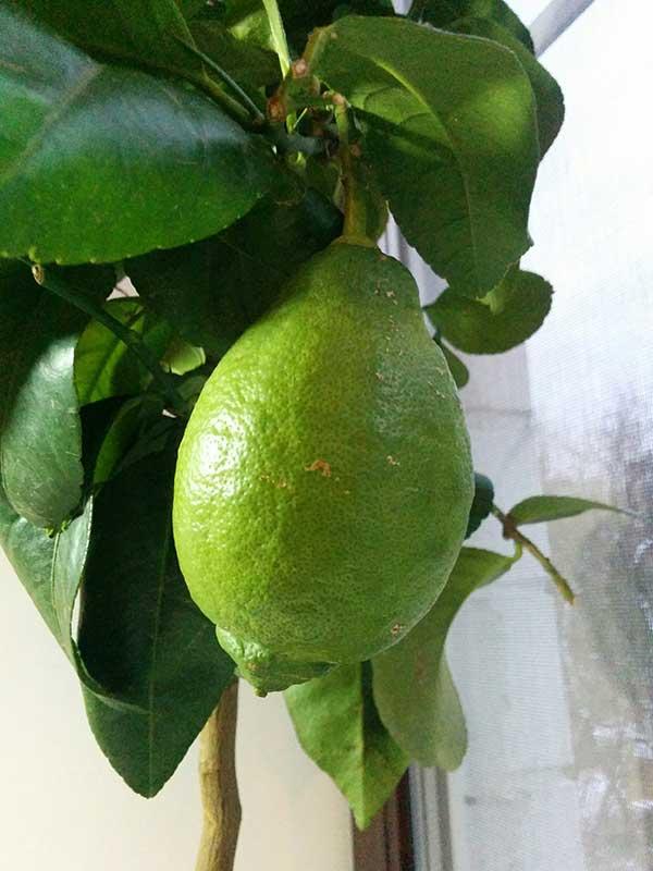 борьба с клещами у комнатного лимона