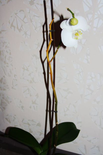 Орхидея пожелтела почему