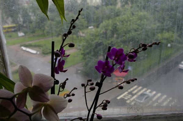 Почему у орхидеи цветы мелкие