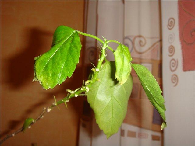Почему скручиваются и желтеют листья у гибискуса