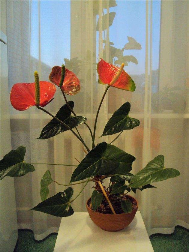 Как появляются цветы у антуриума