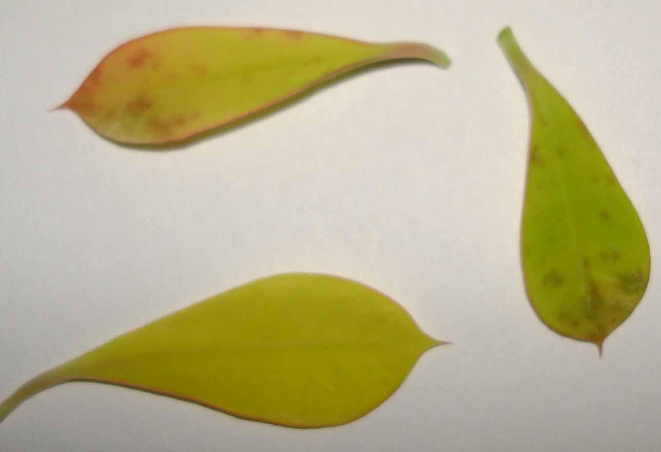 Почему желтеют листья у гладиолусов что делать фото
