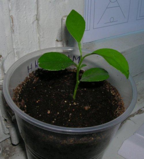 Как посадить мандарин из косточки в домашних условия - Ёжик дома: что едят ежики, сколько живут, в домашних