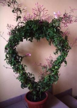 жасмин полиантовый фото