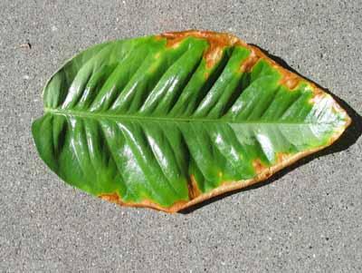 ... лимоном: на листьях лимона коричневые