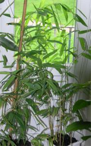 vest-bambusa-lako.jpg