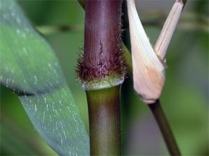 vest-bambusa-lako02.jpg