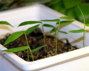 vest-bambusa-ventricosa.jpg
