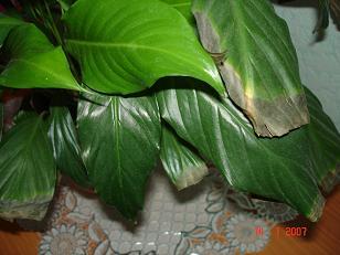 Вянут листья у спатифиллума