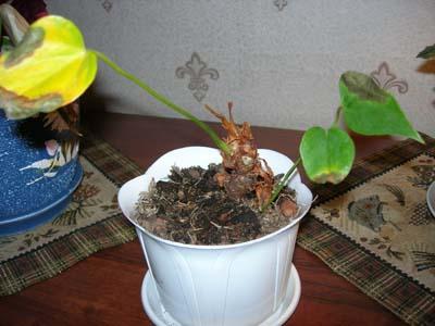 Антуриум листья желтеют
